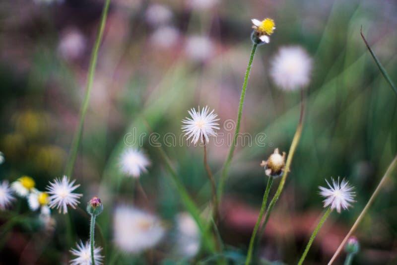 Меньший белый цветок Coatbuttons с предпосылкой нерезкости стоковая фотография rf