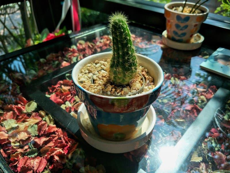 Меньший кактус в кафе Амазонке стоковая фотография