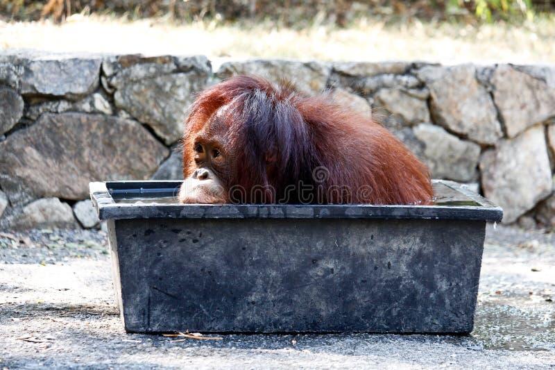 Меньший орангутан Sumatran выдерживая в пластичной ванне стоковые изображения rf
