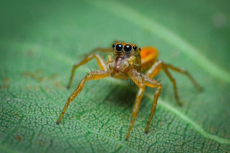 меньший паук как студень стоковые фотографии rf