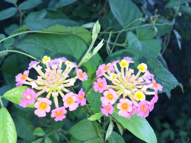 Меньший цветок арбуза в Шри-Ланка стоковое фото rf