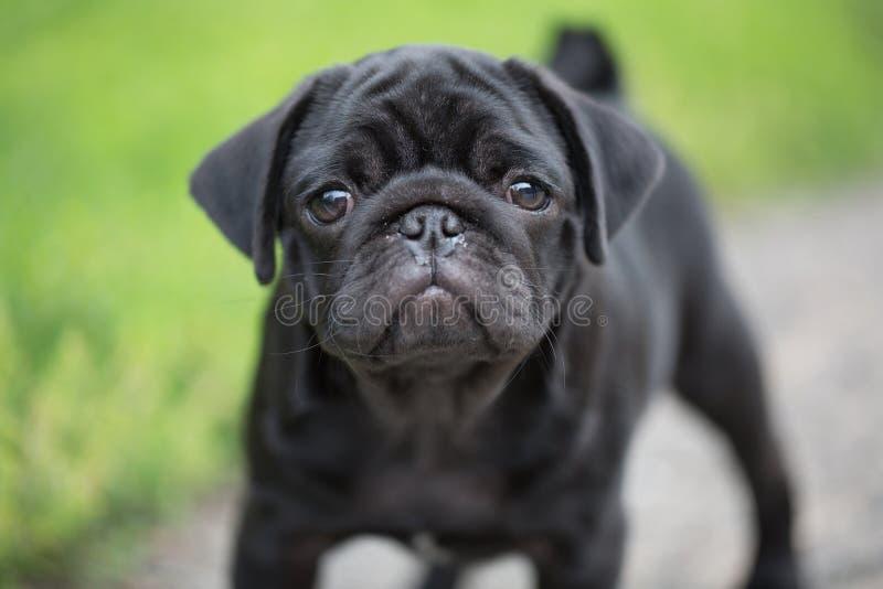 Меньший черный щенок мопса стоковая фотография rf