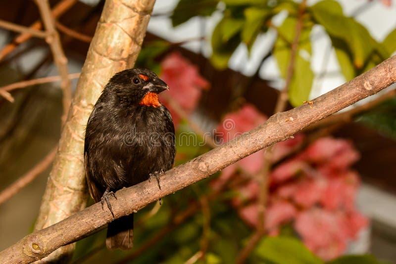 Меньший Antillean Bullfinch стоковые изображения