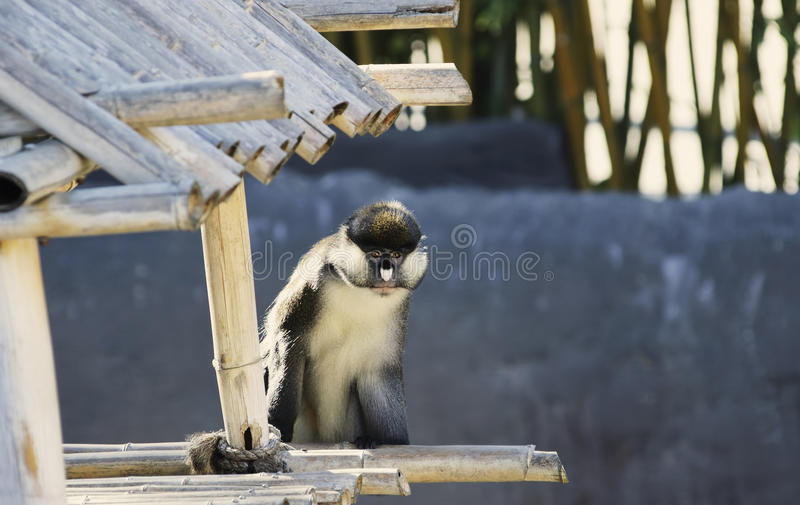 меньшяя обезьяна обнюхала пятно стоковое изображение rf