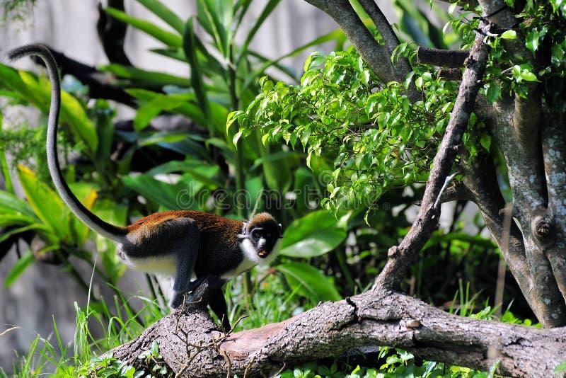 меньшяя обезьяна обнюхала пятно стоковые фото