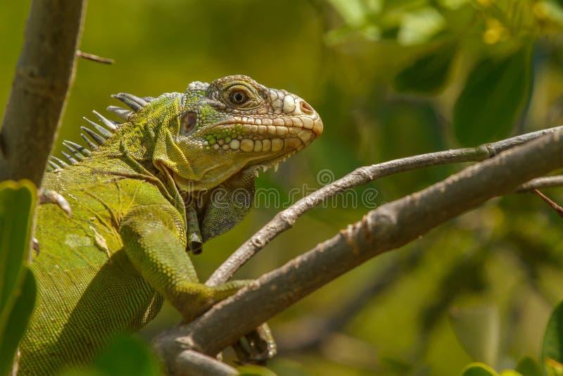 Меньшяя Antillean игуана стоковые фотографии rf