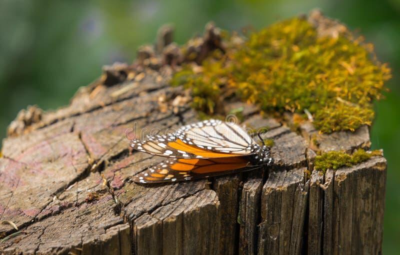 Мертвая бабочка монарха на пне дерева стоковые изображения rf