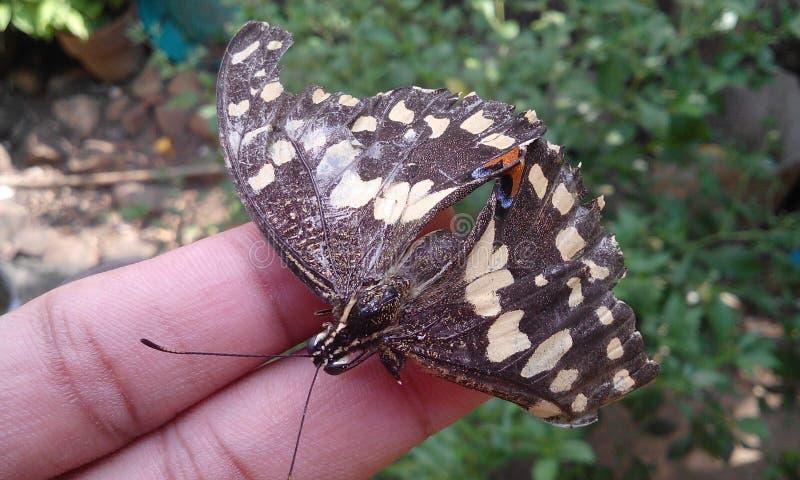 Мертвая бабочка стоковое изображение rf
