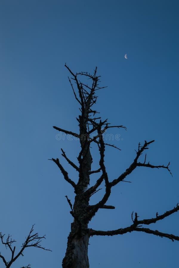 Мертвая деревья Силуэт, Клингманс Купол, Смоки стоковые фото