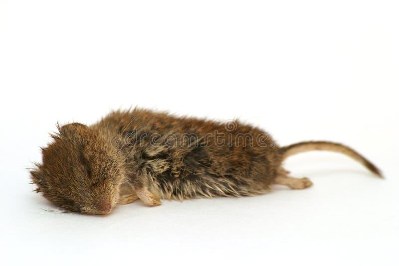 мертвая древесина мыши Стоковое Изображение RF