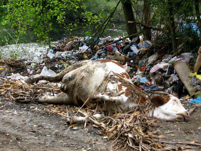 Download Мертвая корова в свалке мусора Стоковое Фото - изображение насчитывающей ворона, картон: 41659794