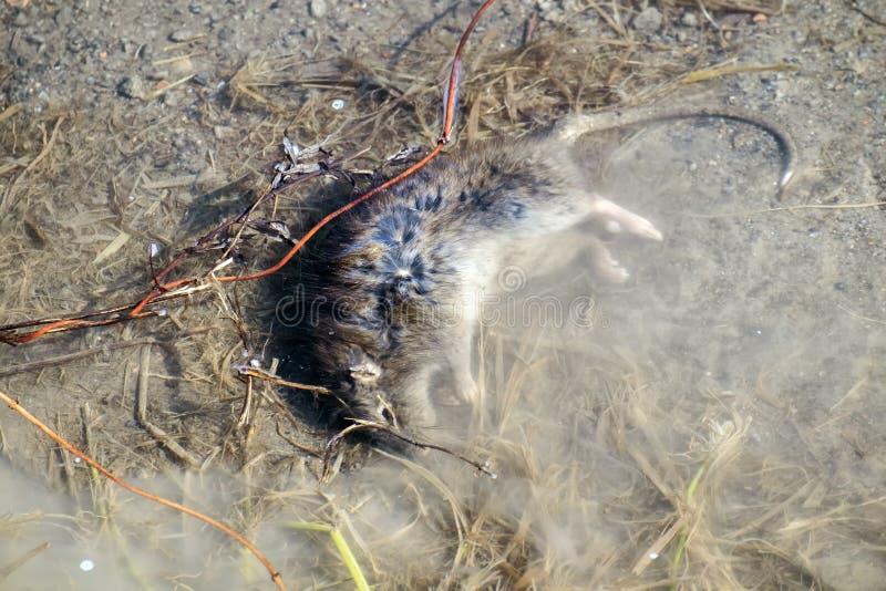 Мертвая крыса лежит в воде стоковые фотографии rf