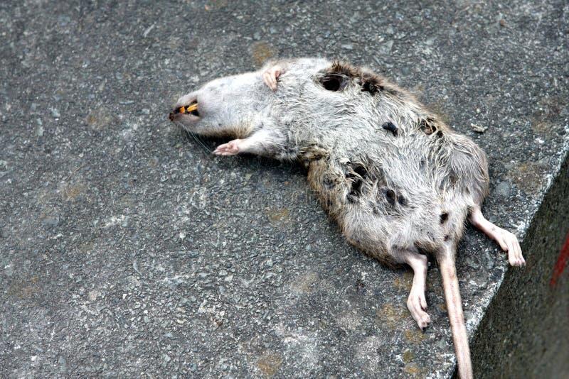 мертвая крыса стоковые фотографии rf