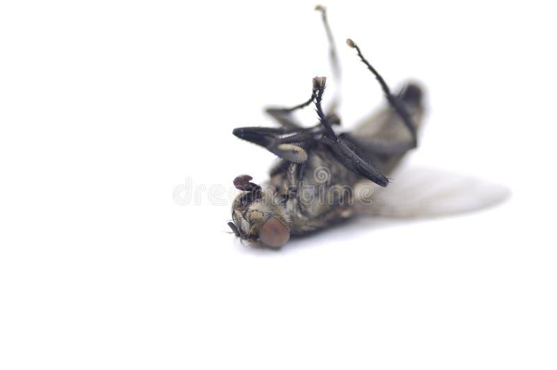 мертвая муха 2 стоковые фото