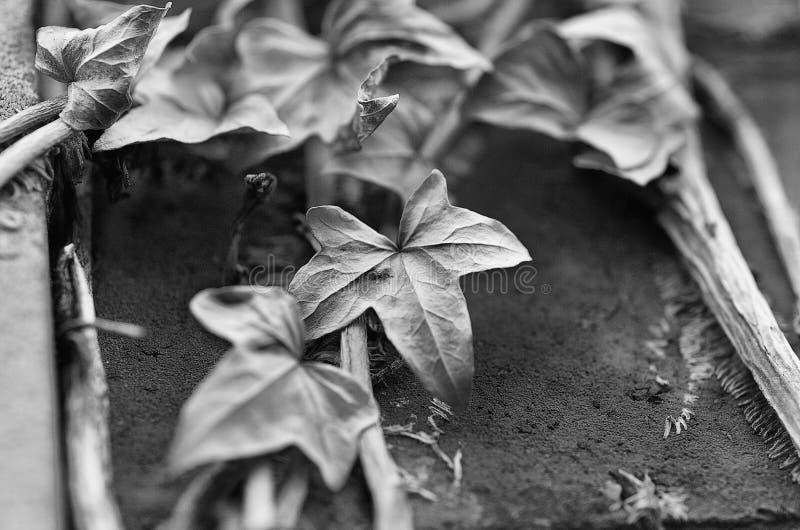 Мертвая лоза стоковая фотография