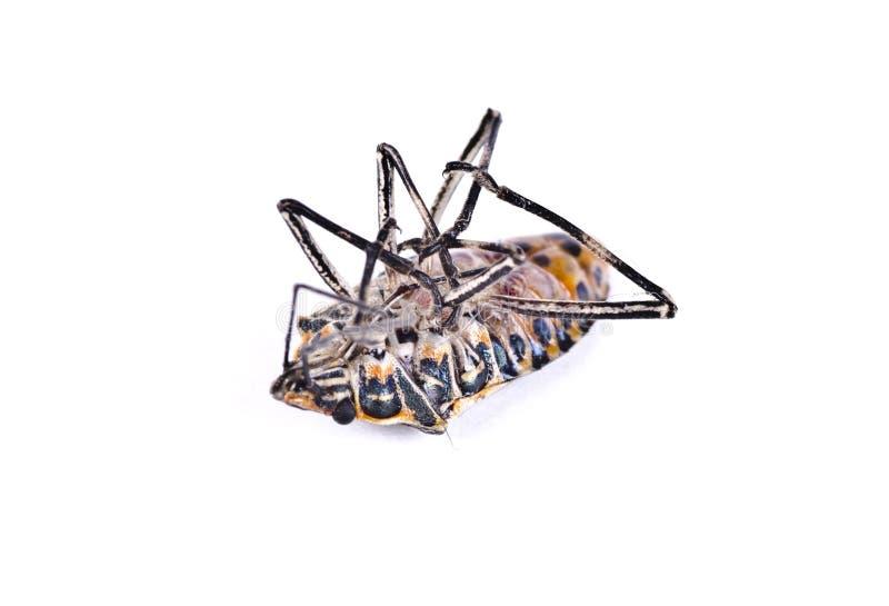 Мертвая убийца, черепашка таракана стоковые изображения rf
