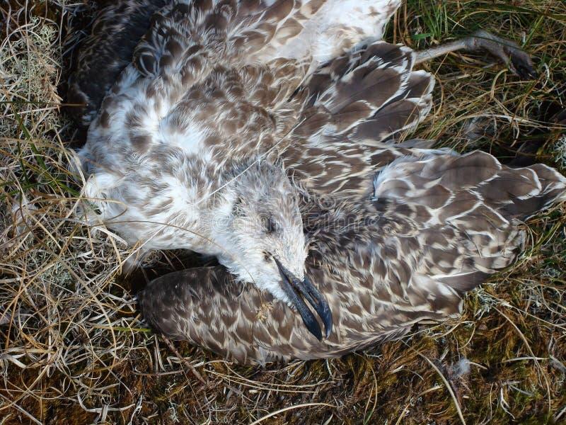 мертвая чайка стоковая фотография