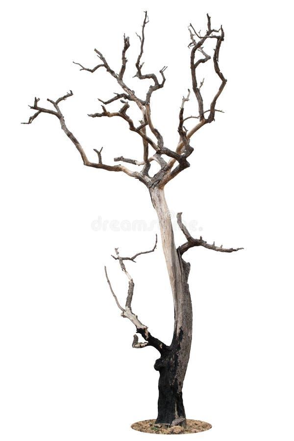Мертвое дерево изолированное на белизне стоковое изображение