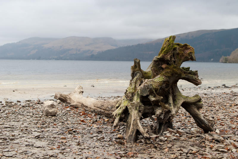 Мертвое дерево на береге стоковое изображение rf