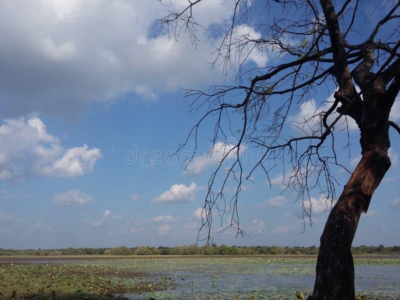 Мертвое дерево на озере стоковая фотография rf