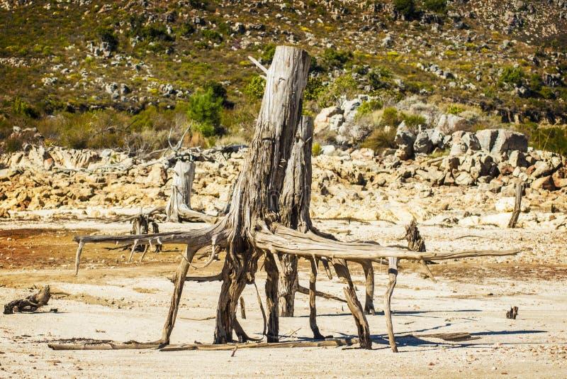 Мертвое дерево с, который подвергли действию корнями стоковая фотография rf