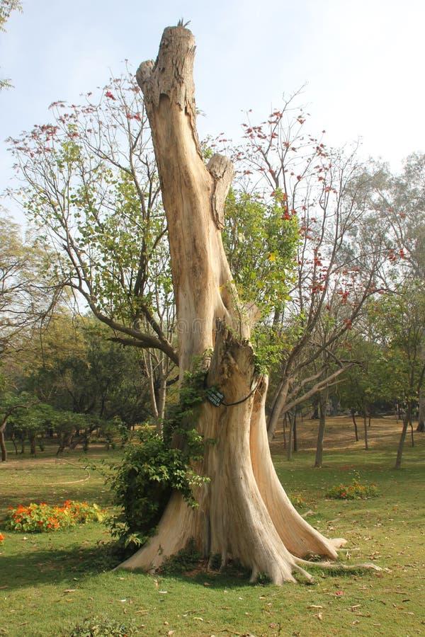 Мертвое старое дерево индийского вяза, integrifolia Holoptelea в саде Lodhi, Дели стоковые фотографии rf