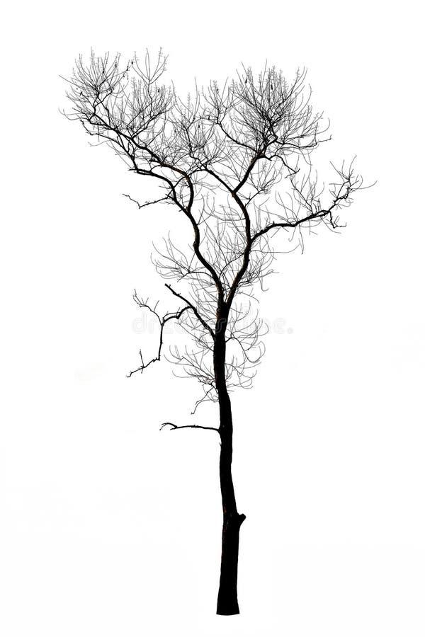 Мертвые ветви дерева изолированные на белизне стоковая фотография rf