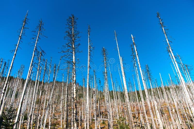 Мертвые деревья в лесе, Zakopane, Польше, горах Tatra стоковое изображение rf