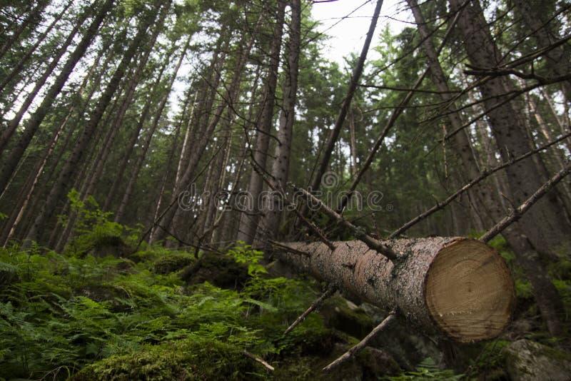 Мертвые деревья в лесе, Zakopane, Польше, горах Tatra стоковая фотография rf