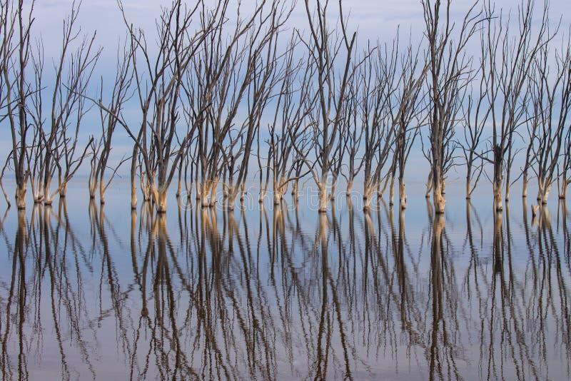 Мертвые деревья в озере Город Epecuen погрузил в воду стоковая фотография