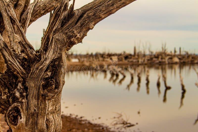 Мертвые деревья в озере Город Epecuen погрузил в воду стоковая фотография rf