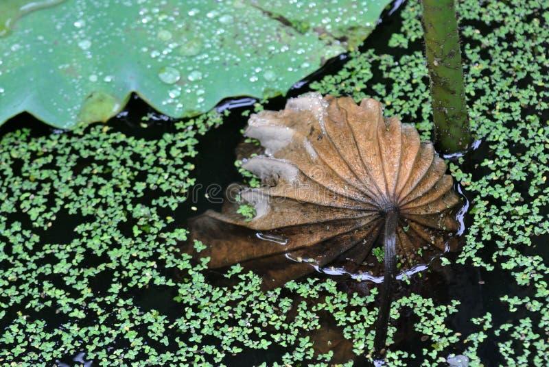 Мертвые листья лотоса стоковая фотография