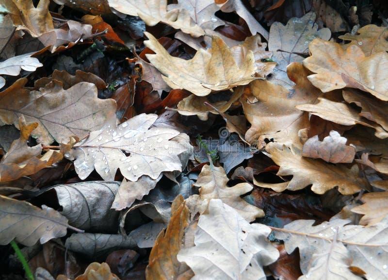 Мертвые коричневые листья осени влажные с дождевыми каплями распадаясь на поле леса стоковое изображение rf