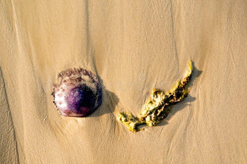 мертвые медузы и засоритель моря на пляже с волнами приходя внутри стоковые изображения
