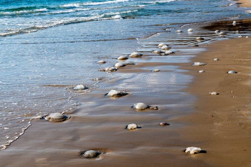 Мертвые медузы помыли вверх на пляже в Nchsholim, Израиле стоковое фото
