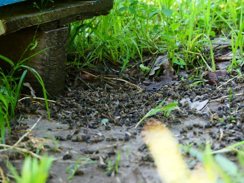 Мертвые пчелы около улья в пасеке Пестициды отравленные мимо стоковое изображение