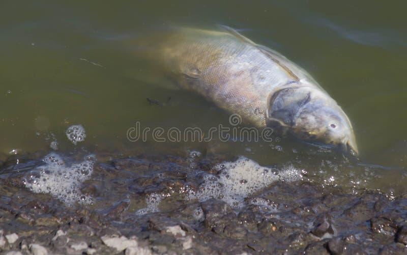 Download Мертвые рыбы уплытые в темную воду, Стоковое Фото - изображение: 54202930
