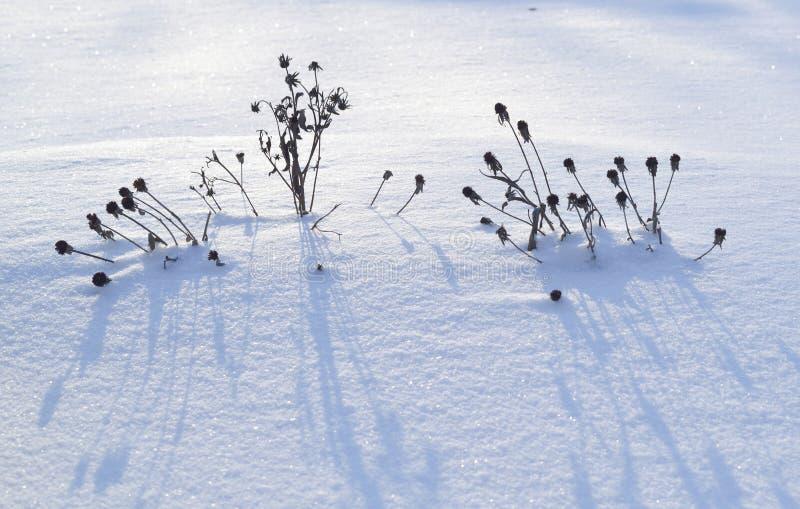 Мертвые стручки семени в снеге зимы стоковая фотография
