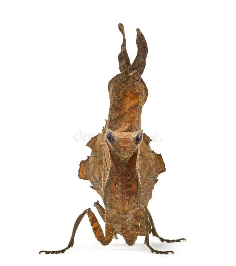 Мертвые mantises лист - Sp Acanthops - стоковые фотографии rf