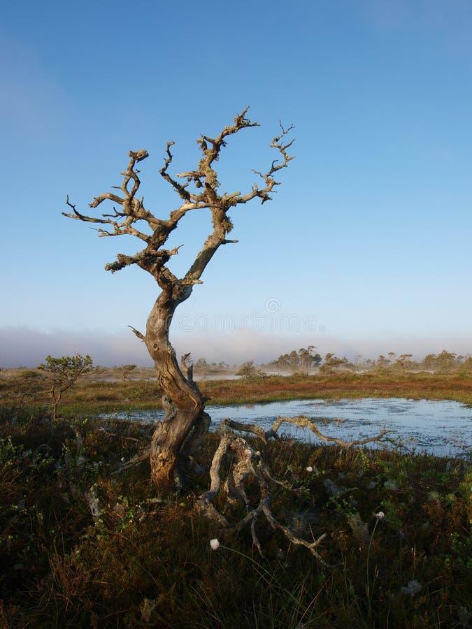 мертвый вал сосенки болотоа стоковые фото