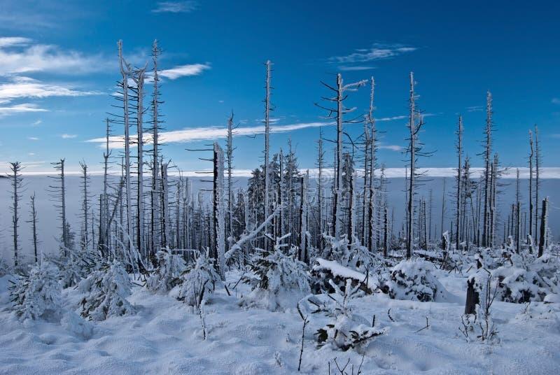 Мертвый лес в горах Beskid Slaski зимы в Польше стоковое фото