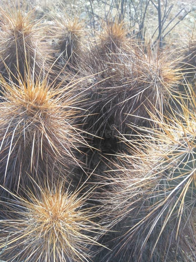 Мертвый кактус стоковая фотография