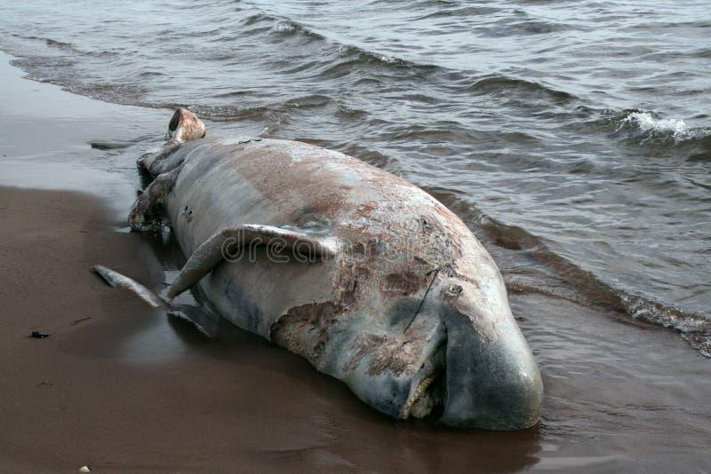 Download мертвый кит стоковое изображение. изображение насчитывающей зубы - 6866069