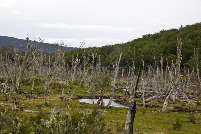 Мертвый лес около Ushuaia/Аргентины стоковое изображение rf