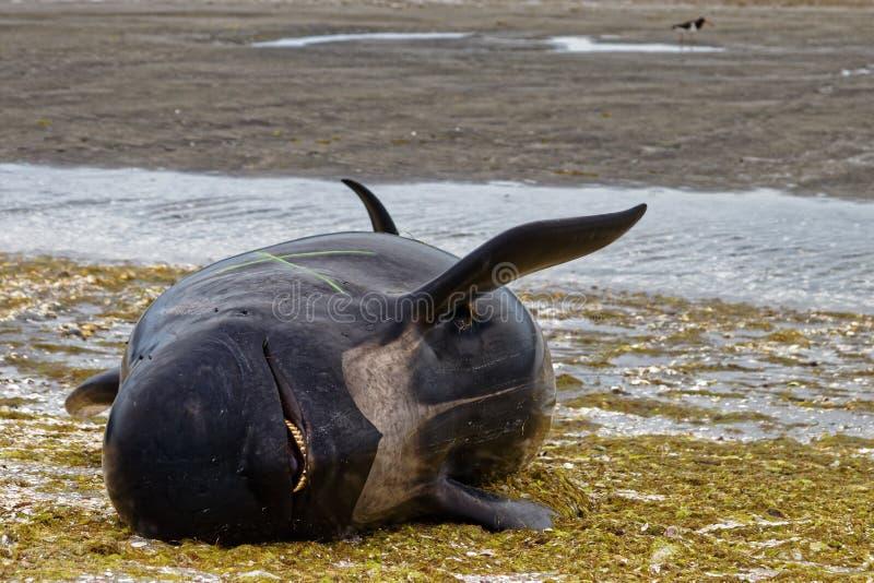 Мертвый пилотный кит на прощальном вертеле, Новой Зеландии стоковые изображения