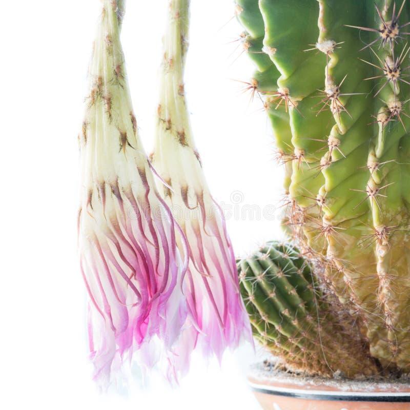 Мертвый цветок кактуса и зеленый терновый spiky завод стоковая фотография