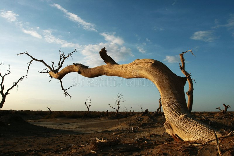 мертвый populus diversifolia стоковое фото