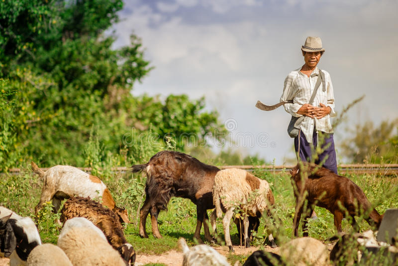 Местный чабан с его стадом стоковая фотография