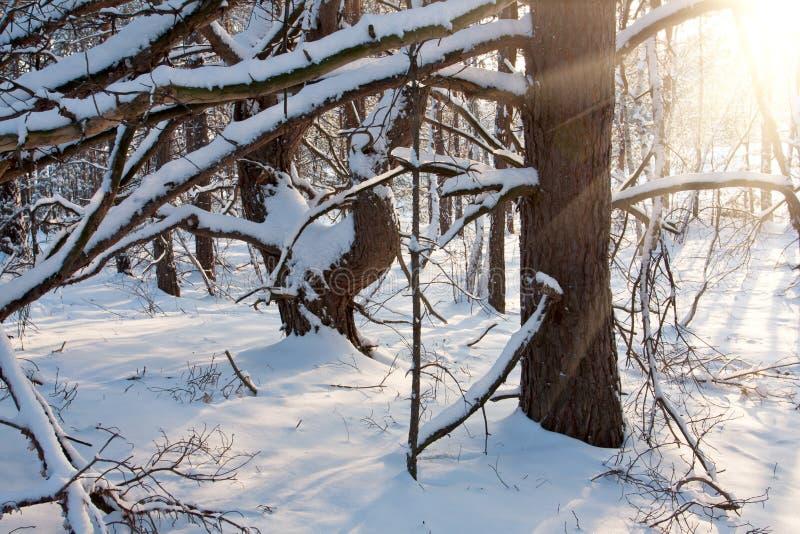 Download Место зимы в пуще стоковое фото. изображение насчитывающей пуща - 41656118