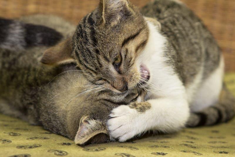 2 3 месяца старого котенка играют стоковое изображение